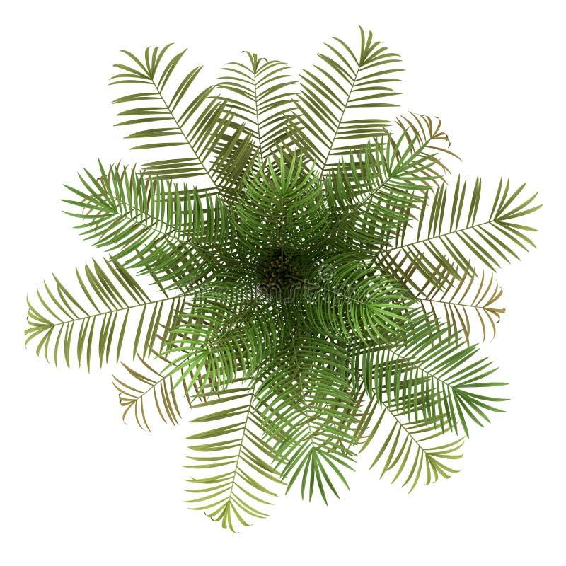 在白色查出的桄榔结构树顶视图  库存例证