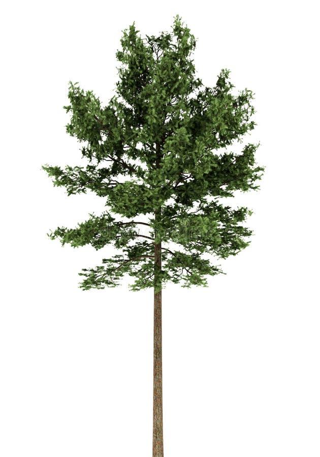 在白色查出的苏格兰松树结构树 皇族释放例证