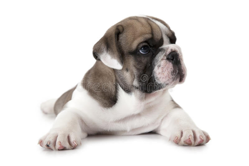 在白色查出的英国牛头犬 免版税库存图片
