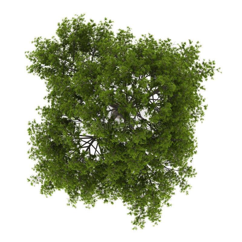 在白色查出的高明的柳树顶视图  向量例证