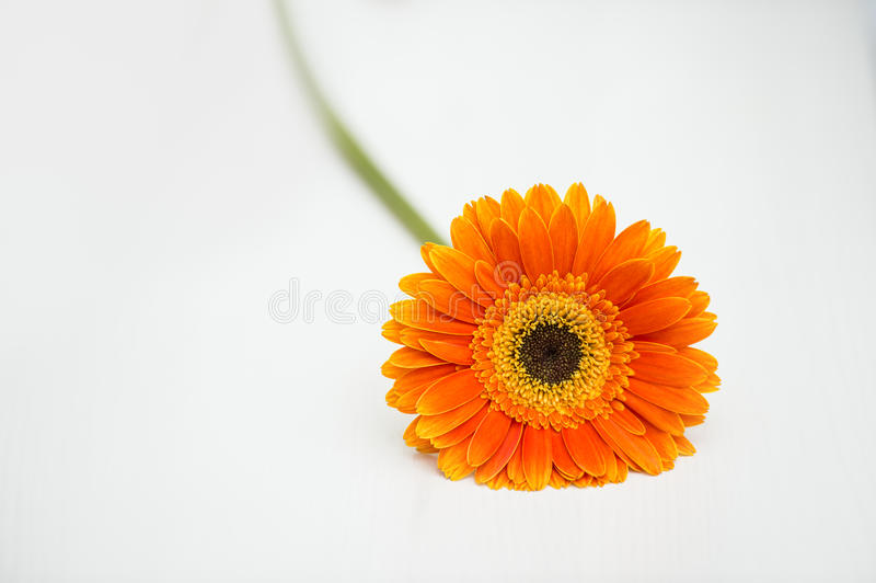 在白色桌上的橙色格伯雏菊 库存图片