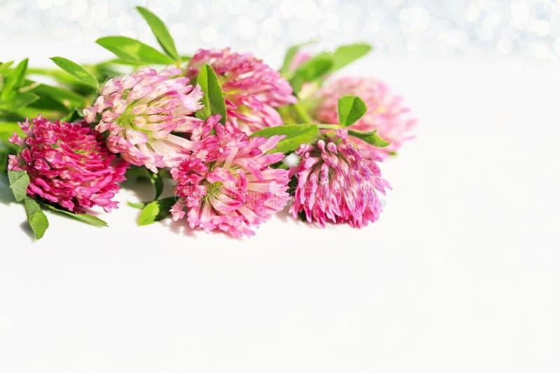 在白色欢乐发光的背景的美丽的明亮的桃红色三叶草花 库存图片