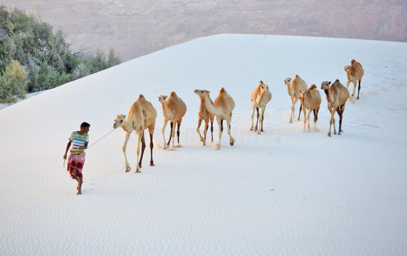 在白色沙丘的Cameleer 免版税库存图片