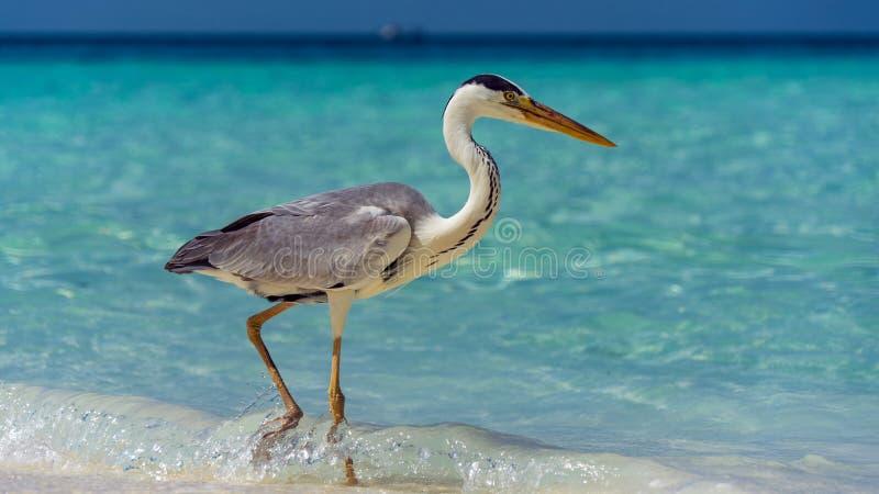 在白色海滩的好的苍鹭在马尔代夫 免版税库存图片