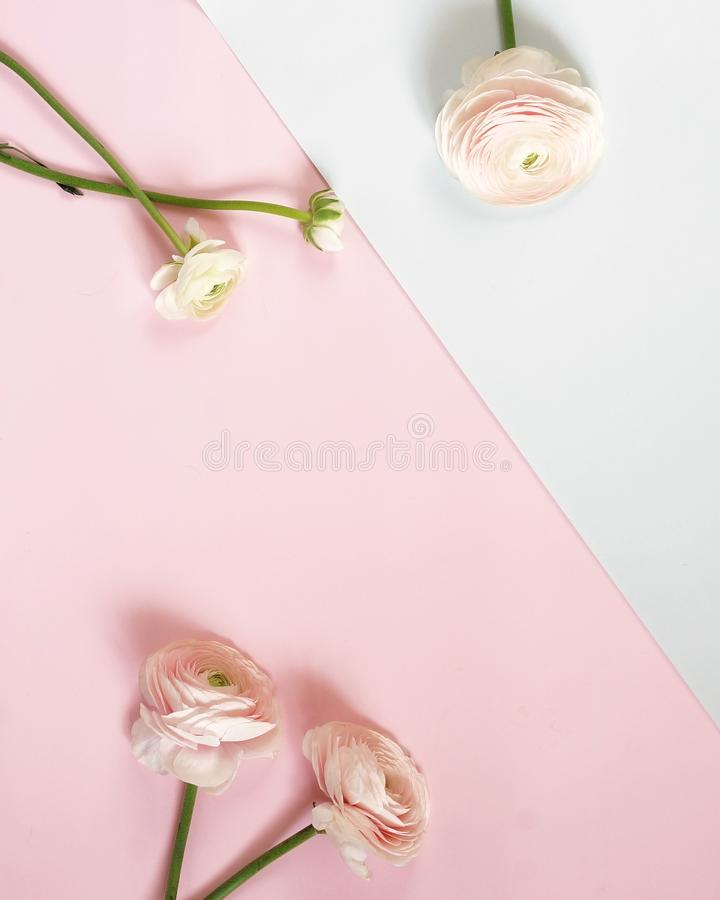 在白色淡粉红的背景的桃红色毛茛属花 图库摄影