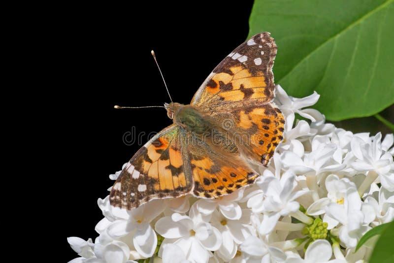 在白色淡紫色开花的银被洗涤的贝母蝴蝶 库存照片