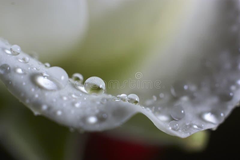 水滴在白色瓣玫瑰的 免版税库存图片