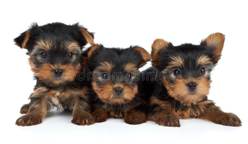 在白色的三只小狗 库存照片
