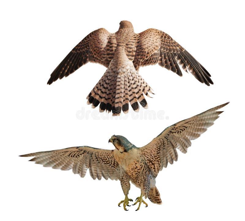 在白色的两只棕色飞行猎鹰 免版税图库摄影