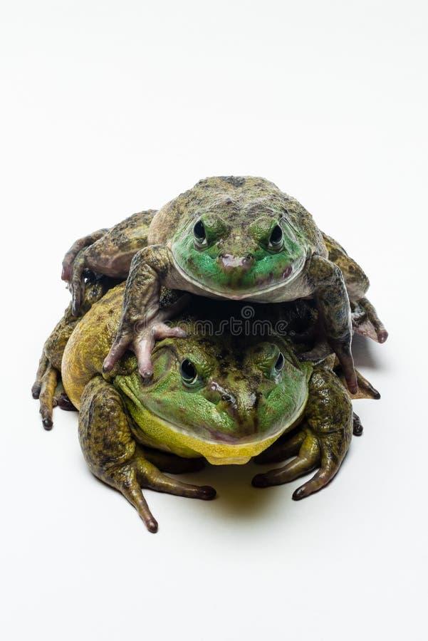 在白色的两只牛蛙 免版税库存图片