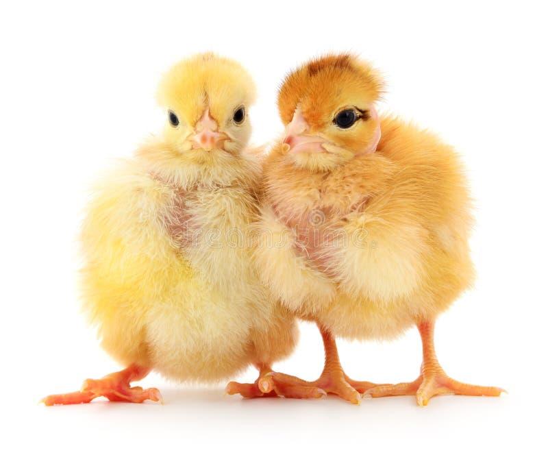 在白色的两只逗人喜爱的小鸡 库存图片