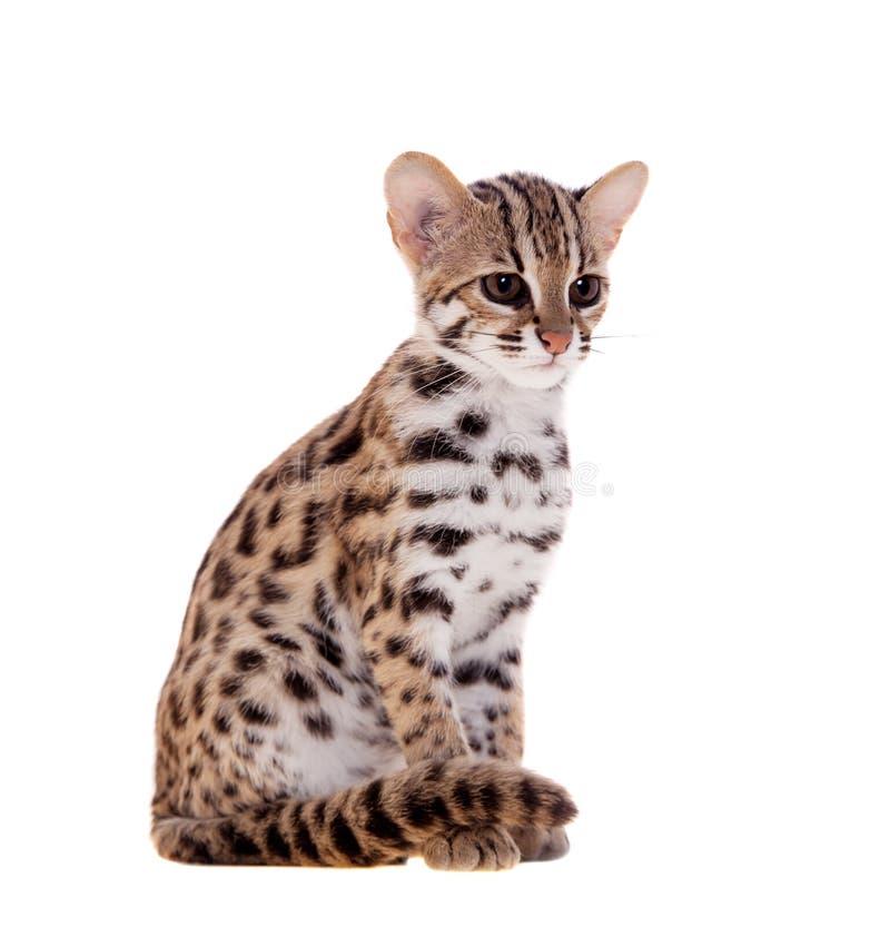 亚洲豹猫_download 在白色的亚洲豹猫 库存照片.