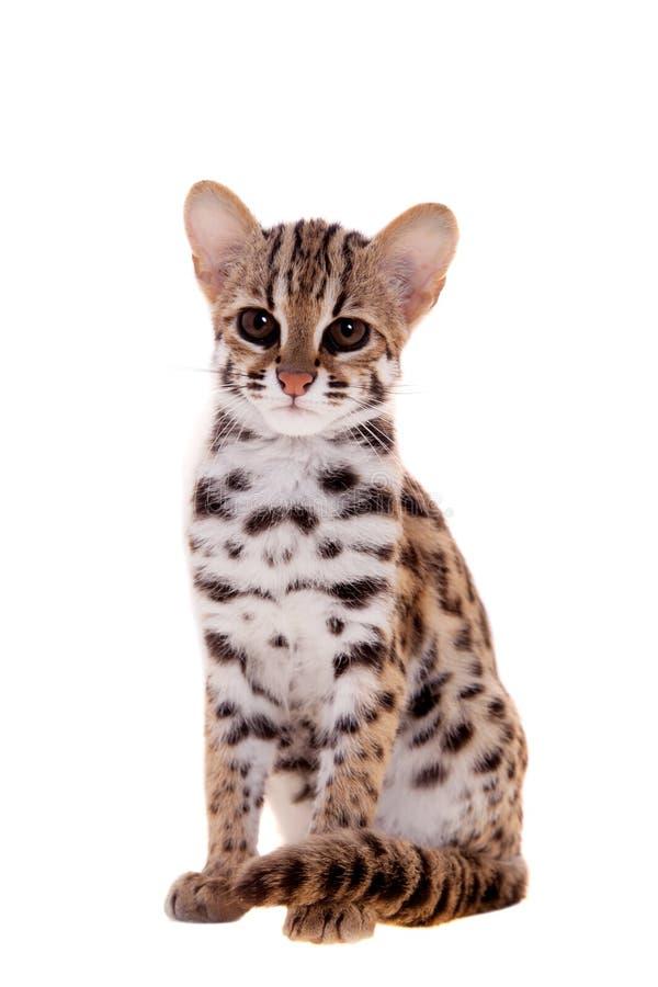 亚洲豹猫_在白色的亚洲豹猫. 查出, 食肉动物.
