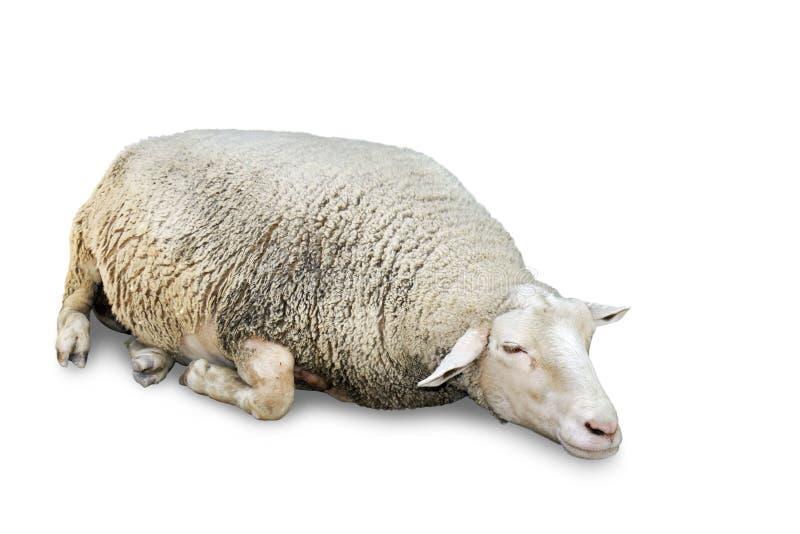 在白色的休眠绵羊 库存照片