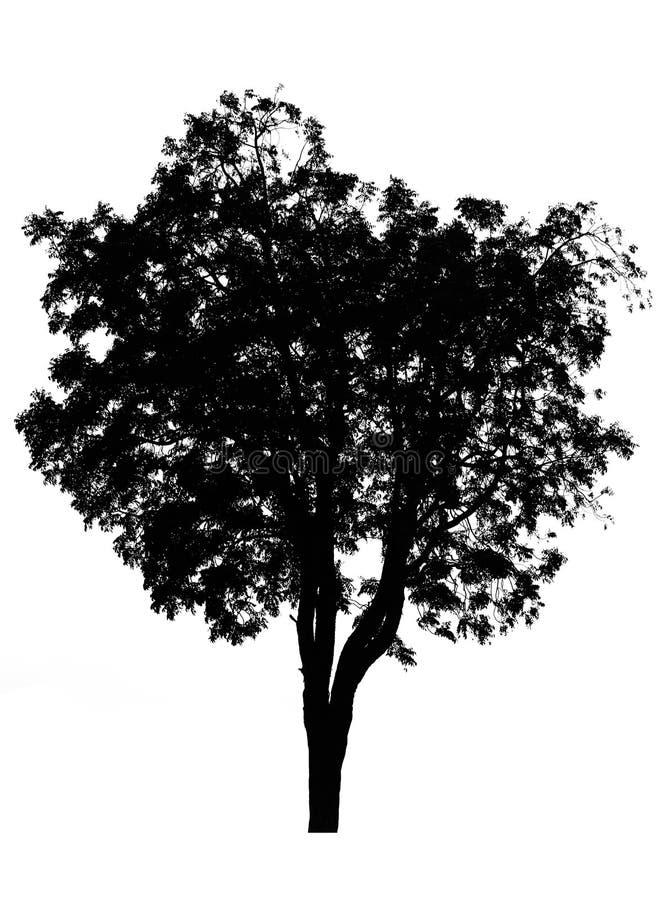 在白色的剪影树 库存图片