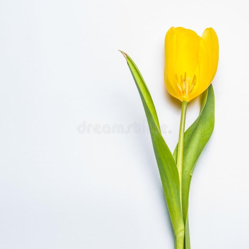在白色的唯一黄色花 库存照片