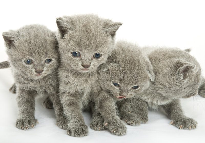 在白色的四只小猫 免版税库存照片