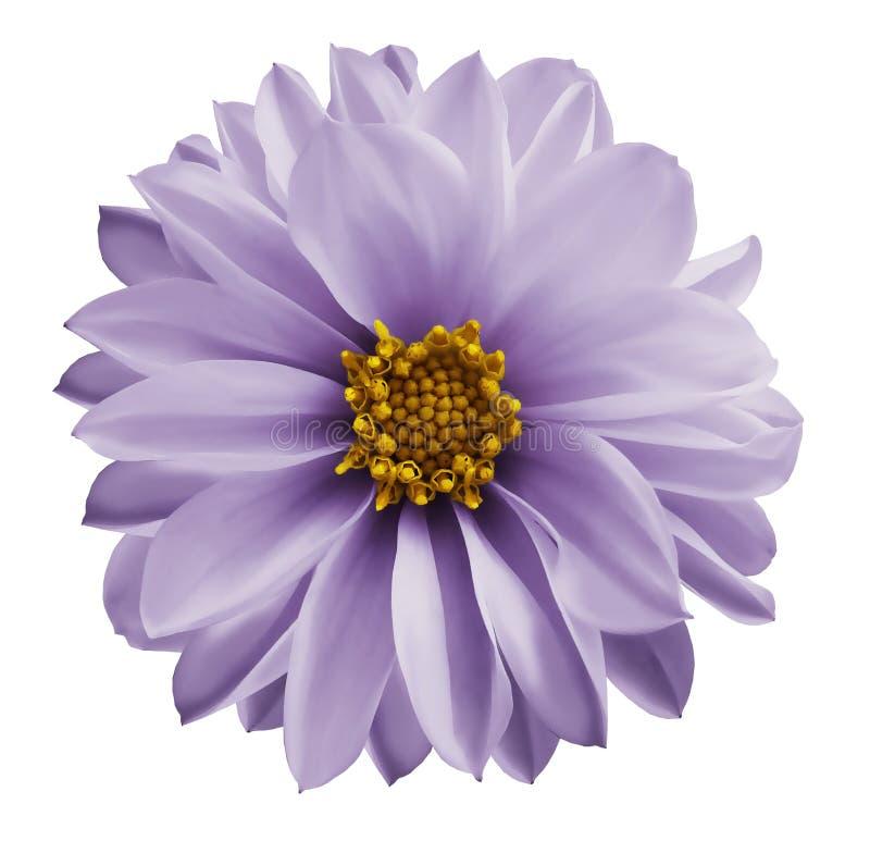 在白色的大丽花浅紫色的花隔绝了与裁减路线的背景 特写镜头没有阴影 庭院花 免版税库存图片