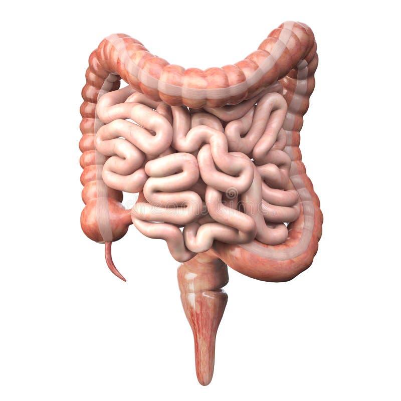 在白色的大和小Intestineisolated 人的消化系统解剖学 胃肠道 向量例证
