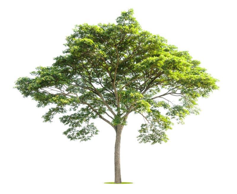 在白色的大树 免版税库存图片
