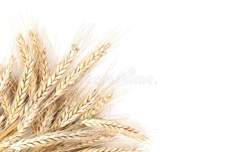 在白色的大麦 免版税图库摄影