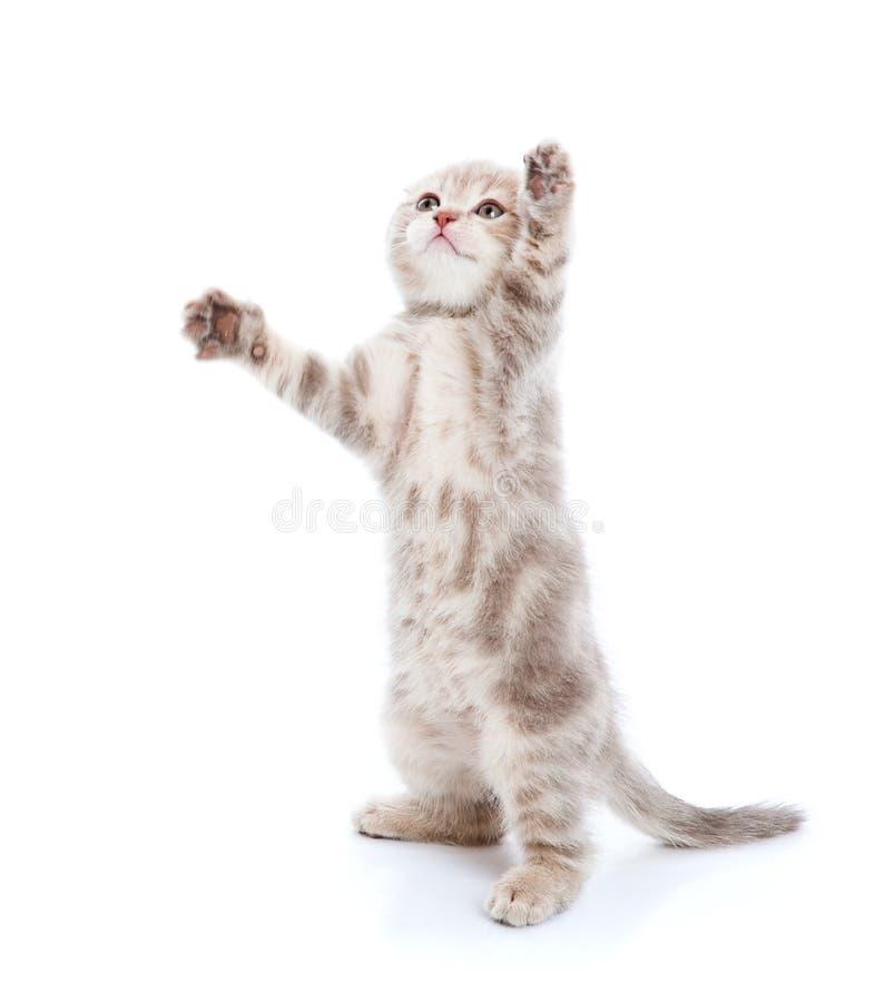 在白色的小猫 免版税库存图片