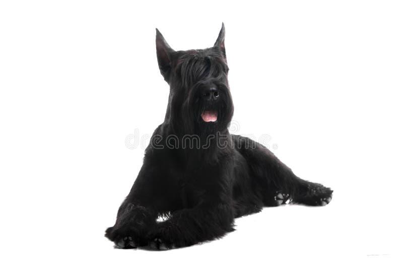 在白色的巨型黑髯狗 免版税库存图片