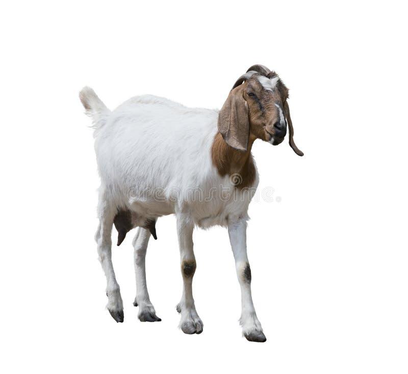 在白色的布尔人山羊 库存照片