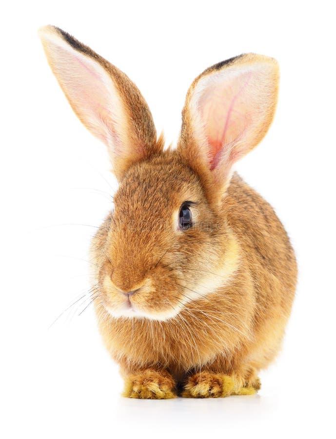 在白色的布朗兔子 免版税库存图片