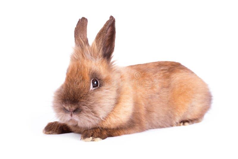 在白色的布朗兔子 免版税库存照片