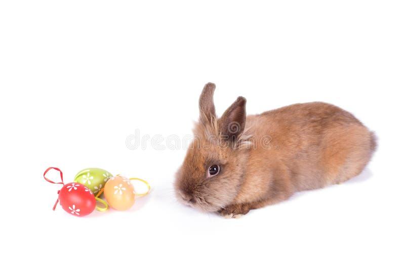在白色的布朗兔子 库存照片