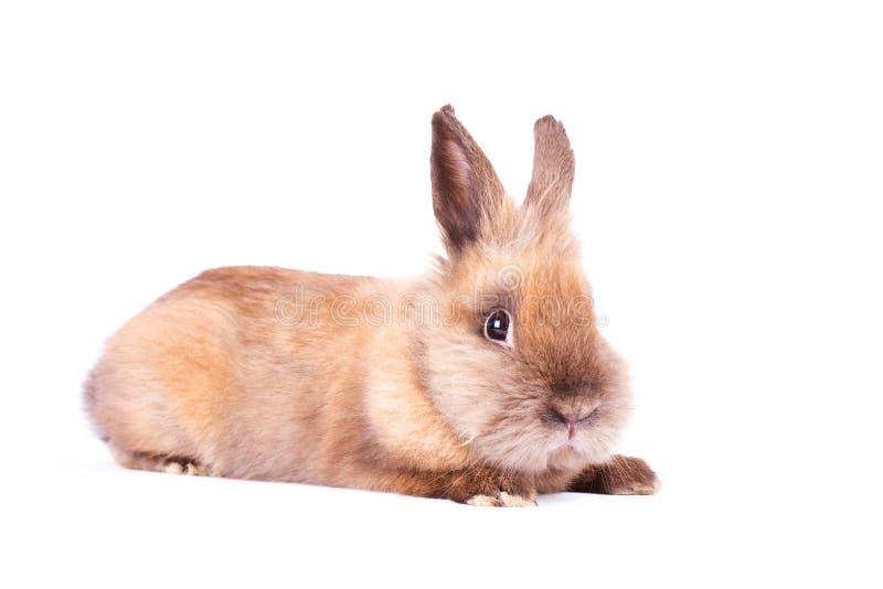 在白色的布朗兔子 图库摄影