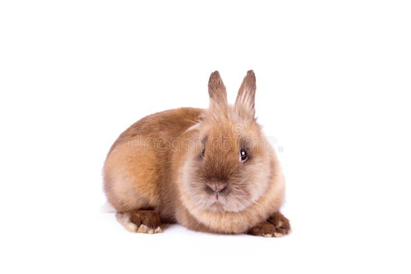 在白色的布朗兔子 库存图片
