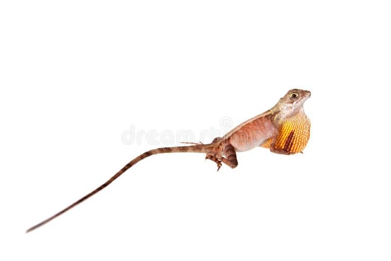 在白色的布朗被修补的袋鼠蜥蜴 免版税库存照片