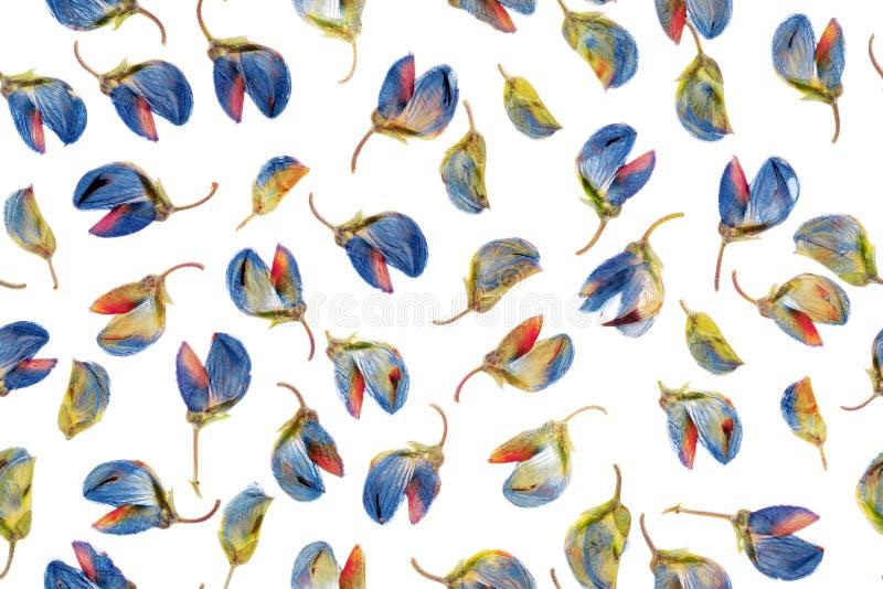 在白色的干燥凶猛花蕾 无缝的模式 干羽扇豆属芽的顶上的照片 干燥标本集,葡萄酒backgroun 库存例证