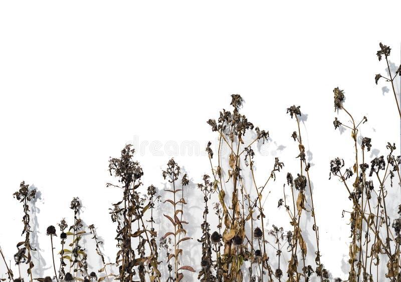 在白色的干燥黑暗的草甸花蓟被隔绝的 免版税图库摄影