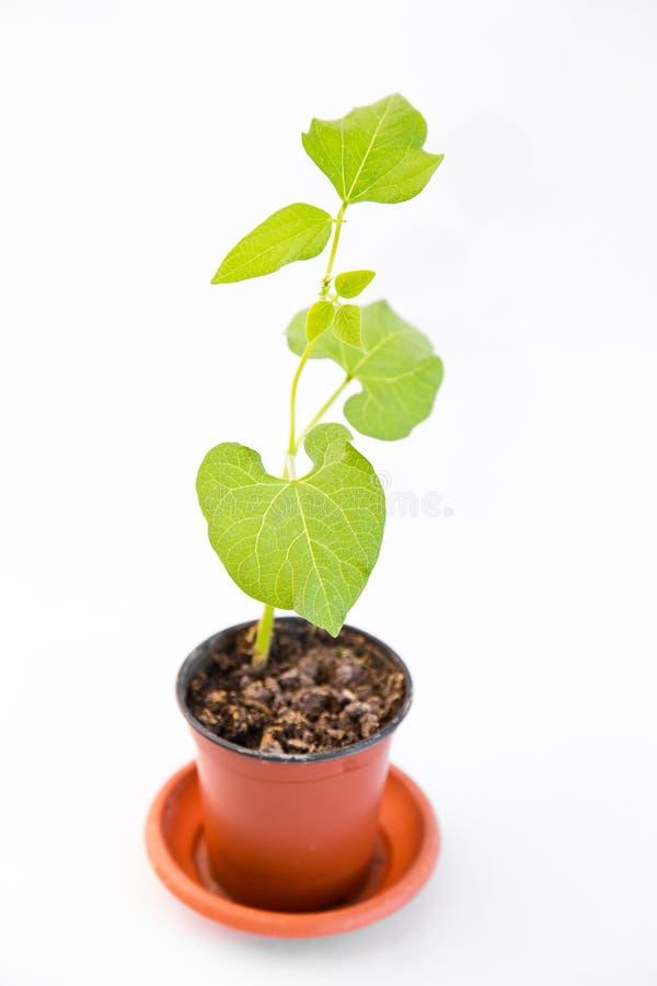 在白色的年轻豆小树枝 免版税图库摄影
