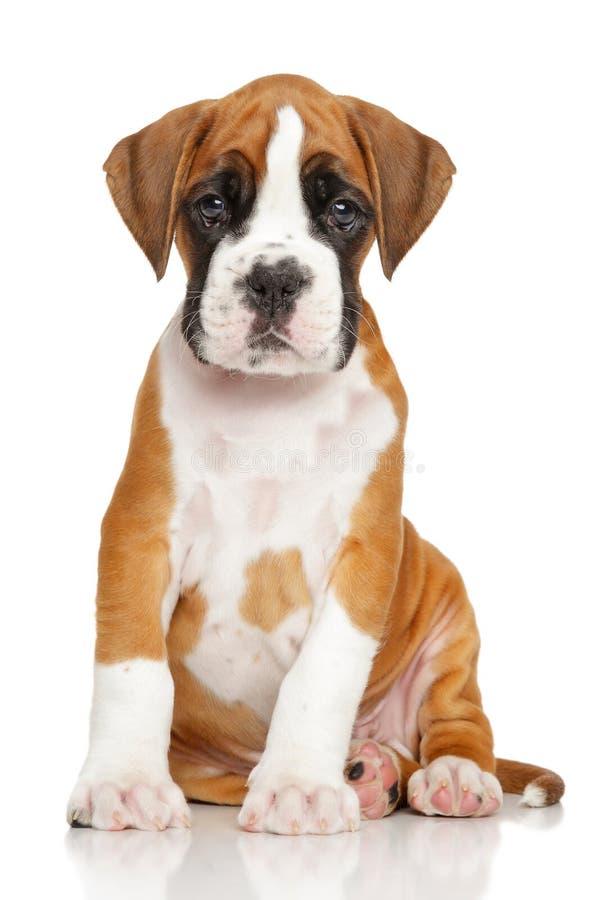 在白色的德国拳击手小狗 库存照片
