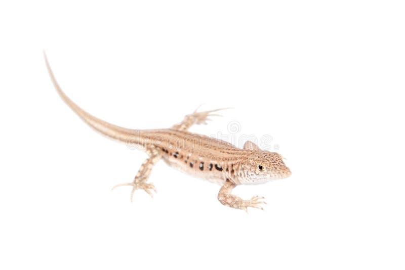 在白色的急流边缘用脚尖踢的蜥蜴 免版税库存照片