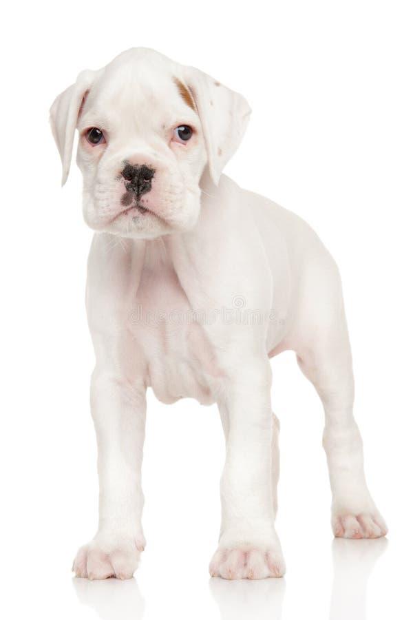 在白色的拳击手小狗 库存照片