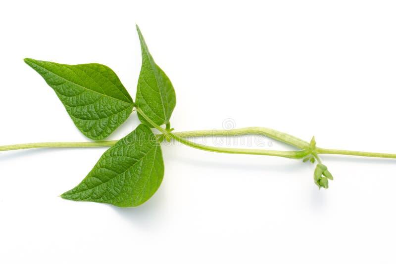 在白色的攀缘茎类的豆叶子 免版税库存照片