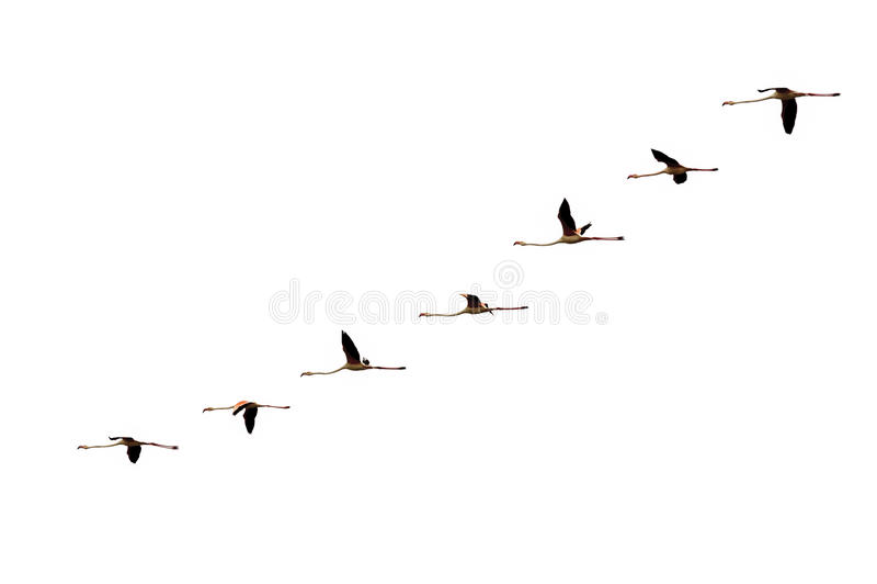 在白色的查出的逐渐飞行火鸟飞行 免版税库存图片