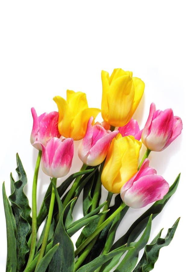 在白色的桃红色和黄色郁金香 库存图片