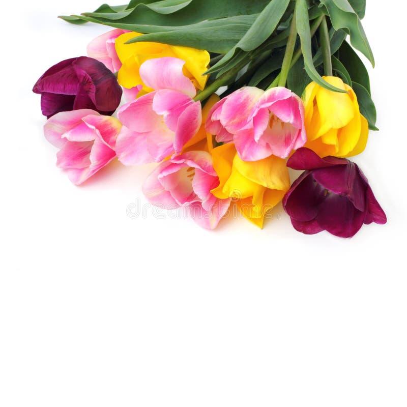 在白色的桃红色和黄色郁金香 免版税库存照片