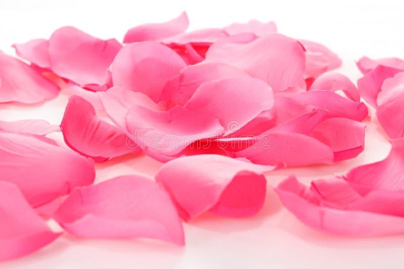 在白色的桃红色玫瑰花瓣 免版税库存照片
