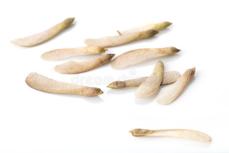 在白色的槭树种子 库存图片
