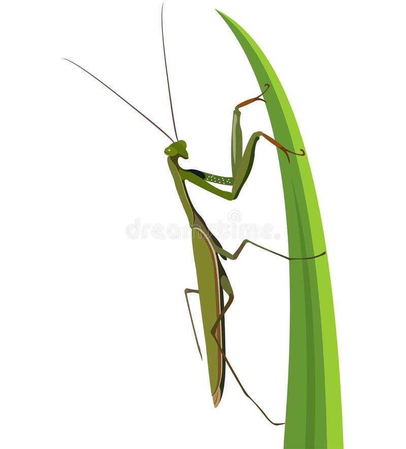 在白色的母螳螂 免版税库存图片