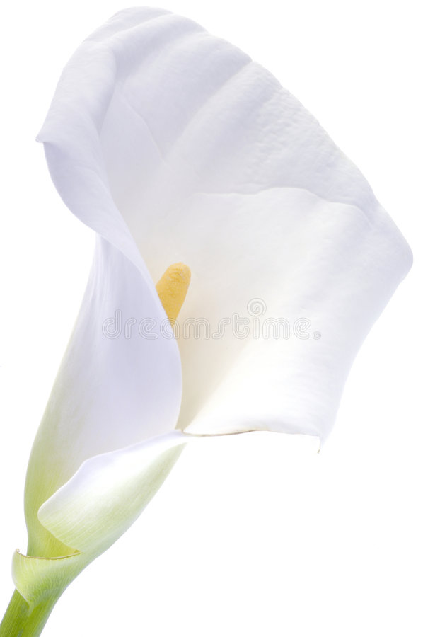 在白色的水芋百合 免版税库存照片