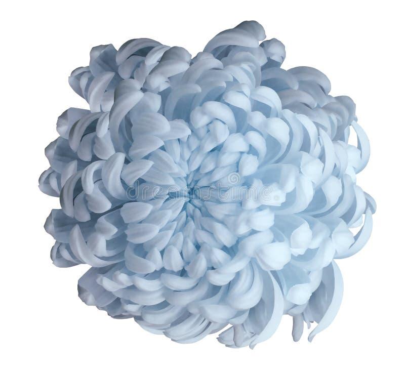 在白色的浅兰的花菊花隔绝了与裁减路线的背景 特写镜头 对设计 免版税库存照片