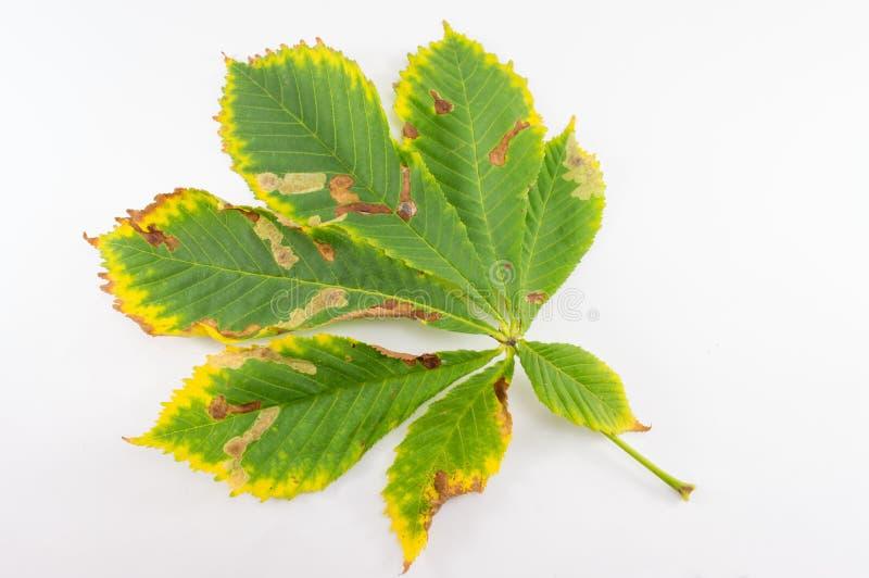 在白色的狂放的栗子叶子 免版税库存图片